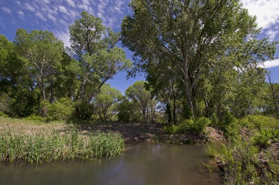 The vast majority of the Southwest's natural riparian areas are gone, leading environmentalists to fight to protect cottonwood bosques like this one along the Gila River.
