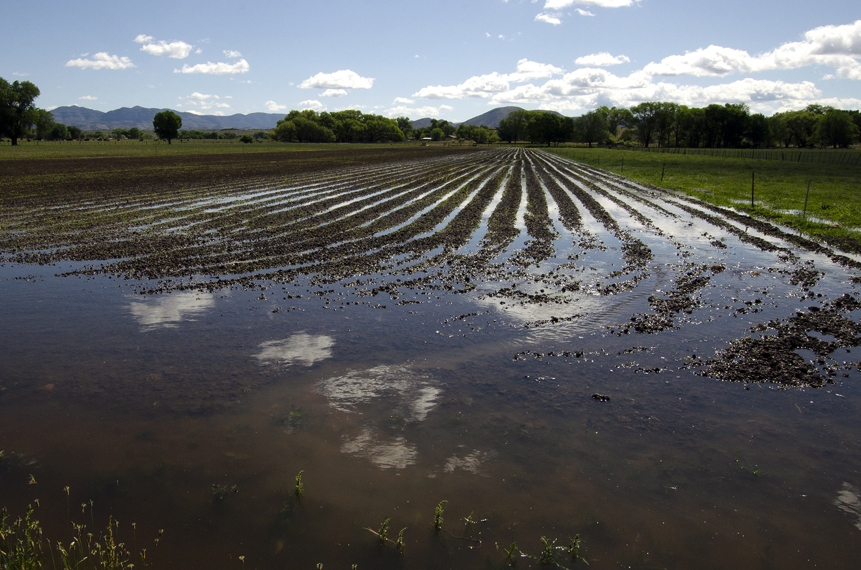Farmers in the Cliff-Gila Valley flood their fields with water diverted from the Gila River to grow pasture for cattle.