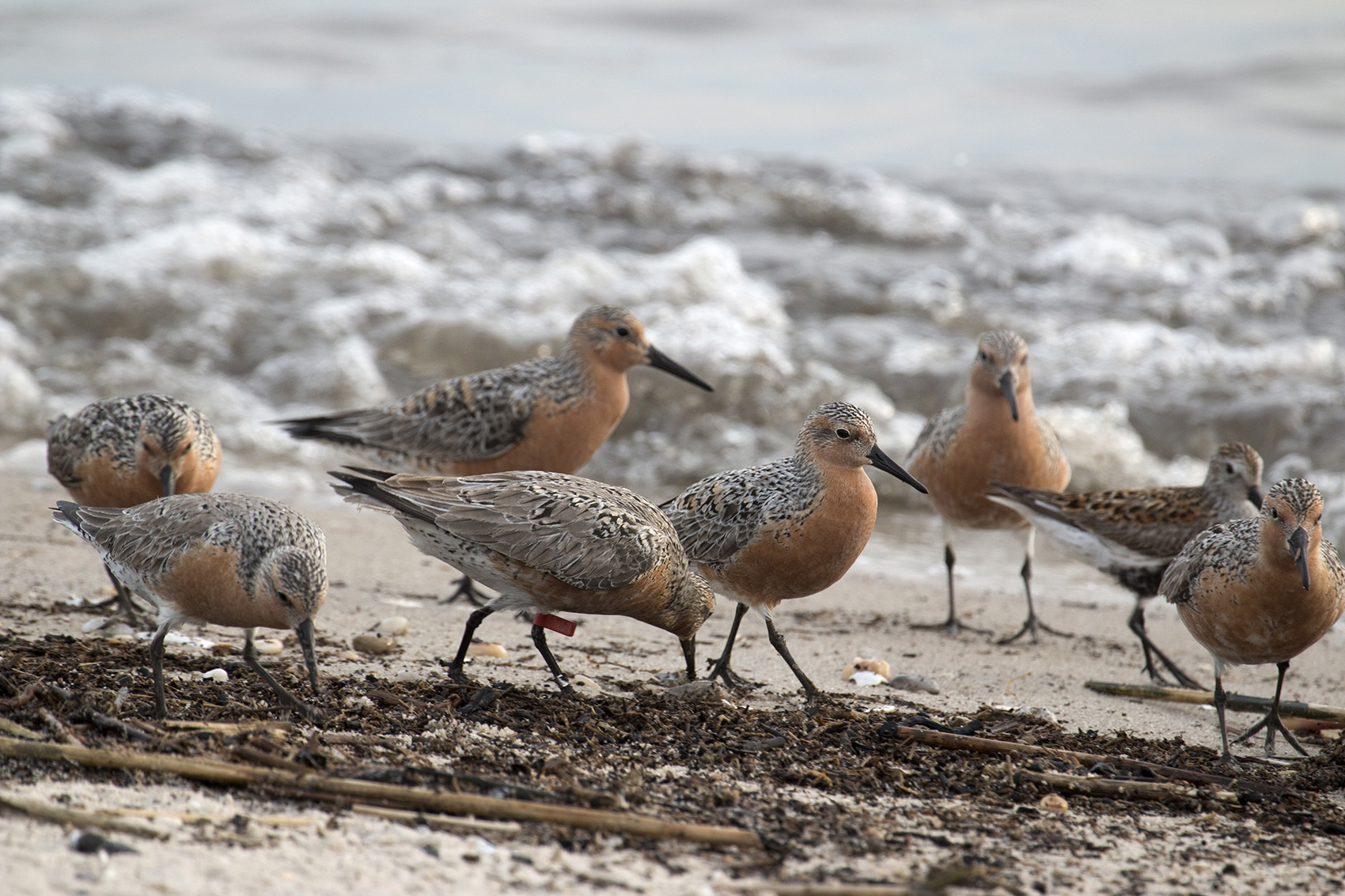 Hundreds of migrating, endangered red knots feed hungrily on horseshoe crab eggs along the Delaware Bay. (Getty Images)