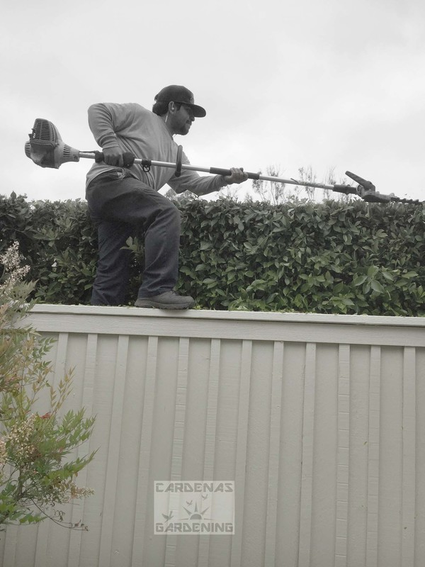 Hedge trimming on wall copy