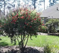 Bottle brush red cluster