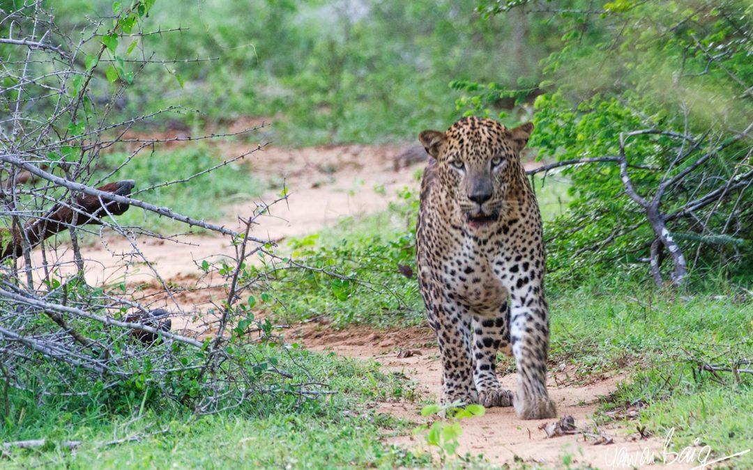 Yala, Leopard Paradise