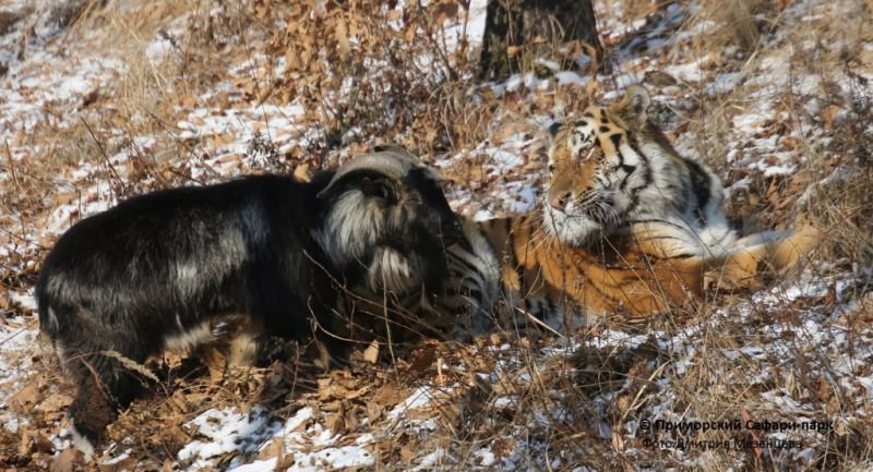 Positive Nachrichten: Quelle: http://www.safaripark25.ru/component/content/article/2-news-comment/102-sladkaya-parochka