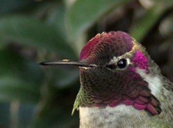 Quelle: https://rumble.com/v2znp1-annas-hummingbird.html