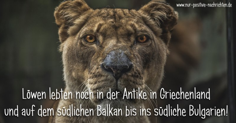 Löwen in Europa - In der Antike gab es Löwen in Griechenland