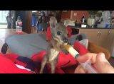 Gute Nachricht: Scotty - das süßeste Känguru Baby in einer Auffangstation