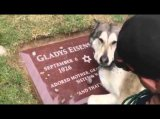 Siberian Husky crying for the deceased owner