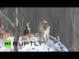 Russland: Ein ungewöhnliches Duo – Eine Ziege folgt einem Tiger auf Schritt und Tritt