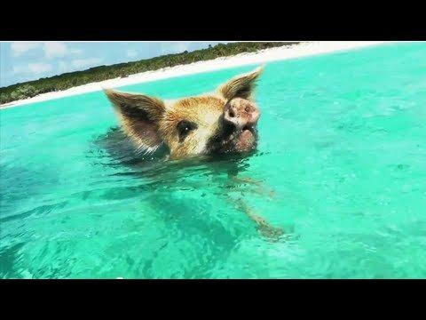 MUST SEE: Swimming Pigs in Exuma Bahamas!