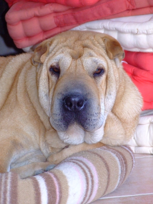 Chien - Shar Pei, Chinese Shar-Pei - Diddle