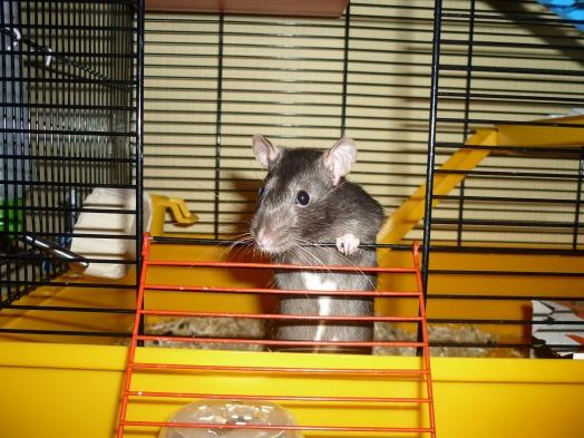 Pitchounette s'appretant à sortir de la cage
