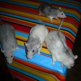 la Bande de rates