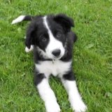 team border collie