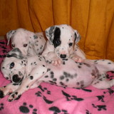 La team des dalmatiens
