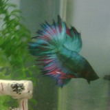 Beau et Belle Betta Fish (Handsome and Beautiful Betta Fish)