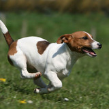 La Team des Jack Russell Terrier
