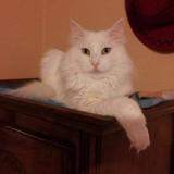 Les chats blancs.