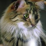 Samba {Crazy Cat}