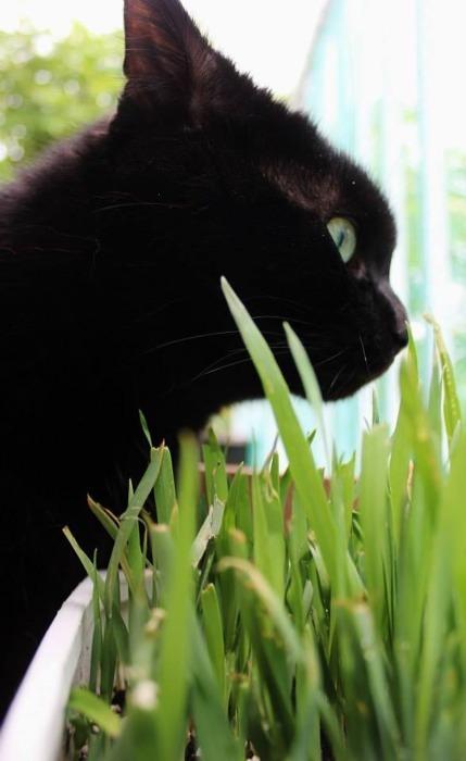 Je mange de l'herbe à chat