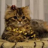 qui veut un chat noël hiihihi