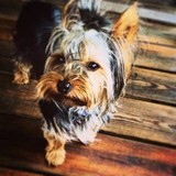 Houston (Yorkie Houston)
