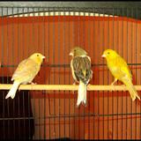 la famille canaris