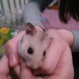 Henry - Hamster