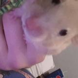 Lavender - Hamster