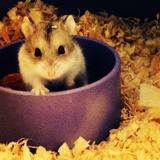 Frankie - Hamster