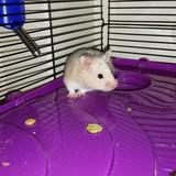 oliver - Hamster