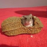 Muffin (jay-linn) - Hamster