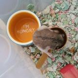 Pepper - Hamster