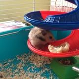 lilie  - Hamster