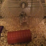 Coockie - Hamster