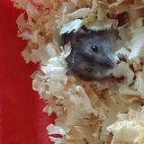 Bolota - Hamster