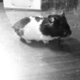 Rato - Hamster