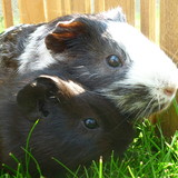 Best guinea pigs from Czech Republic