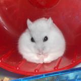 Barreirinhas - Hamster