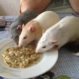 La Communauté Des Rats