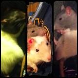 Rattie Family.♥