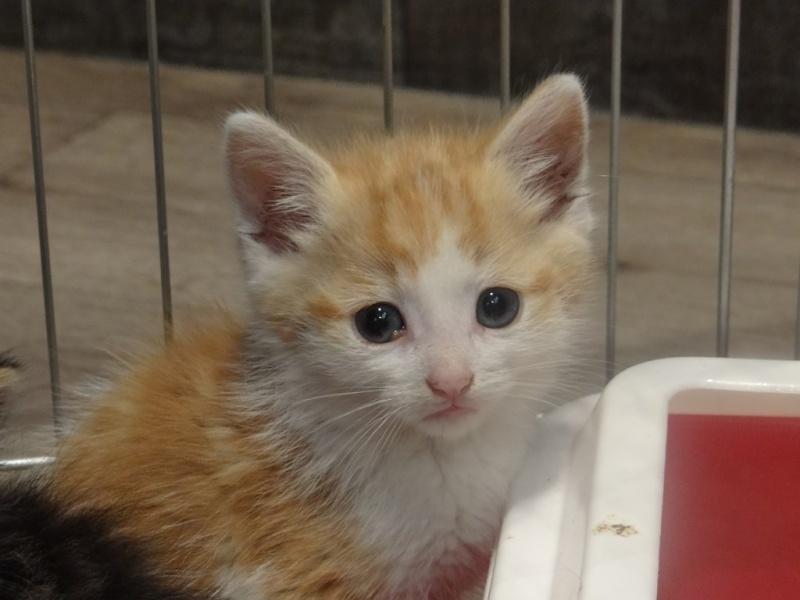 chaton male roux et blanc annonces gratuites d 39 animaux carvin yummypets. Black Bedroom Furniture Sets. Home Design Ideas