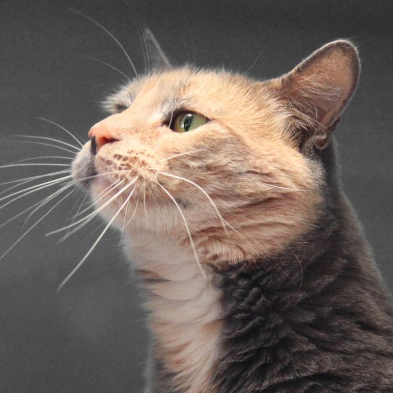 chat adopter refuge spa grammont gennevilliers 92 annonces gratuites d 39 animaux. Black Bedroom Furniture Sets. Home Design Ideas
