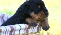 Let's talk about Rottweilers!