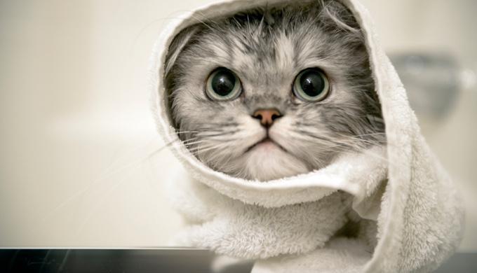 petits conseils pour la toilette de votre chat yummypets. Black Bedroom Furniture Sets. Home Design Ideas