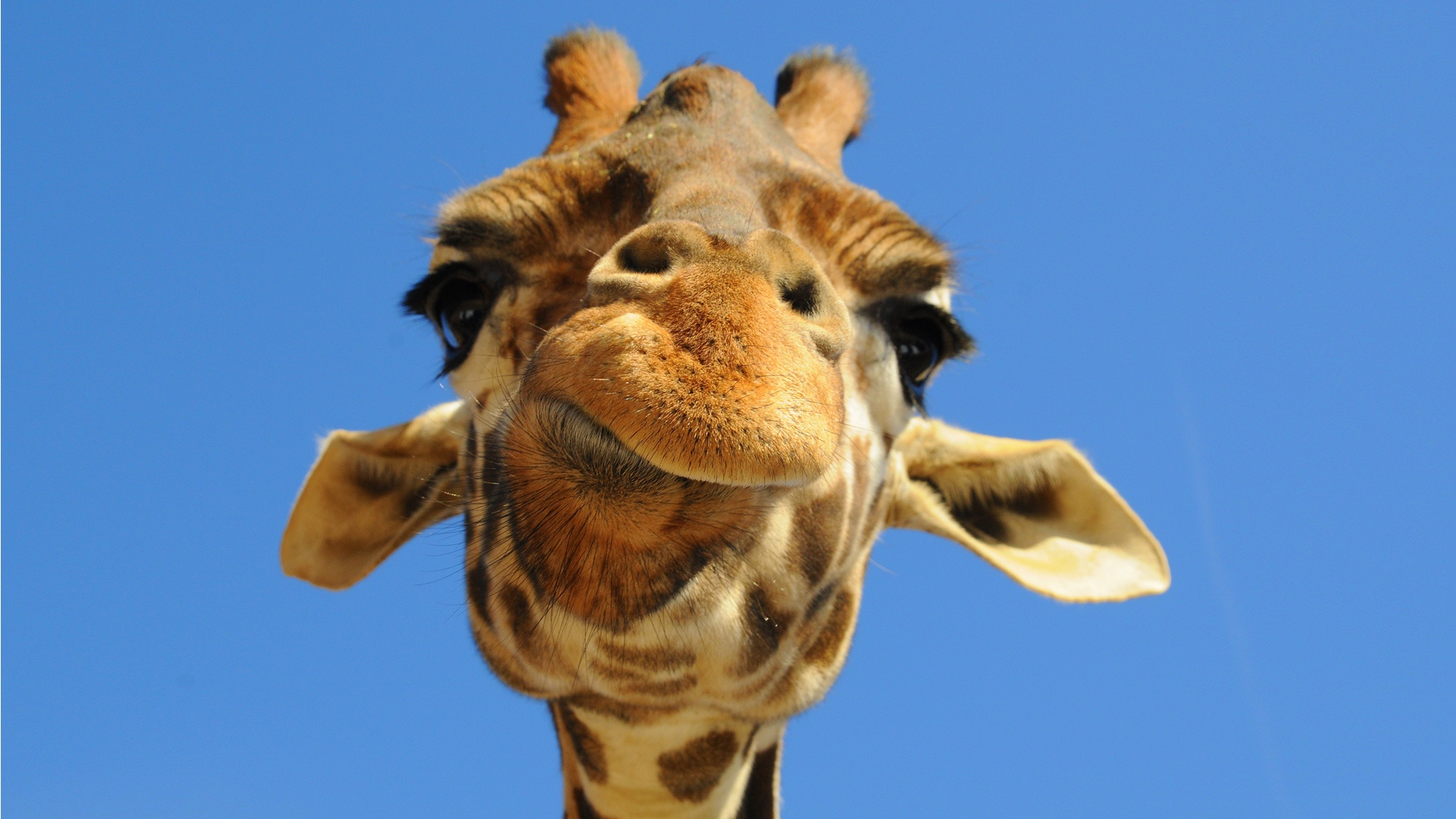 yawning giraffe - photo #11