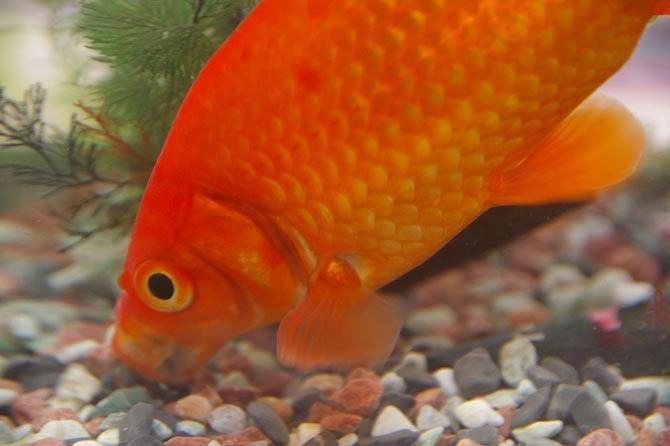 Zoom sur le poisson rouge yummypets for Poisson rouge aquarium