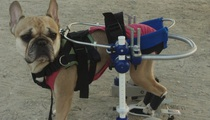 Kerdog: the solution for paralyzed dogs