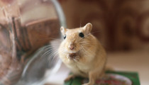 What if you adopted gerbils?