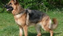 Focus on: The German Shepherd Dog