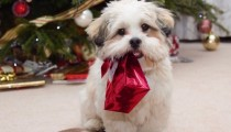 Christmas dangers to pets